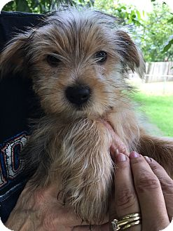 Yorkie, Yorkshire Terrier Mix Puppy for adoption in Broken Arrow, Oklahoma - Kujo