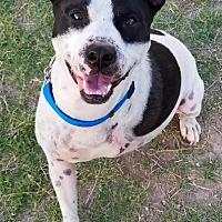 Adopt A Pet :: Oreo - Tucson, AZ