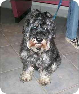 Miniature Schnauzer Dog for adoption in Oak Ridge, New Jersey - Keko-ADOPTED!