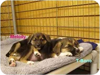 Beagle/Labrador Retriever Mix Puppy for adoption in Chester, Maryland - Melody