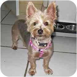 Yorkie, Yorkshire Terrier Mix Dog for adoption in Homestead, Florida - Ellie