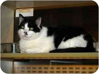 Domestic Longhair Cat for adoption in Walker, Michigan - Huckleberry