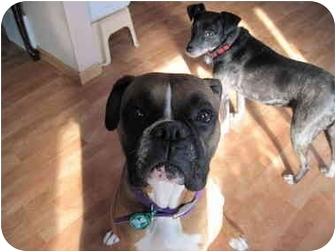 Boxer Dog for adoption in Rosemount, Minnesota - Molly
