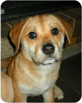 Labrador Retriever/Corgi Mix Puppy for adoption in Cincinnati, Ohio - Molly