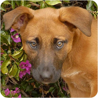 German Shepherd Dog Mix Puppy for adoption in Los Angeles, California - Coral von Lawall
