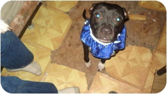 Pug/Pit Bull Terrier Mix Dog for adoption in Benton, Pennsylvania - Leihla