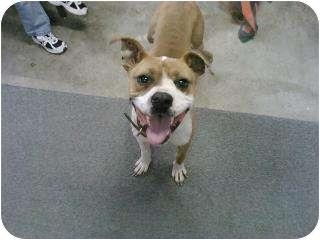 Boxer/Pit Bull Terrier Mix Dog for adoption in BLACKWELL, Oklahoma - Peppi