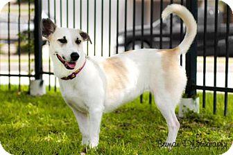 Basset Hound/German Shepherd Dog Mix Dog for adoption in Houston, Texas - Jolie