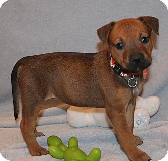 German Shepherd Dog/Labrador Retriever Mix Puppy for adoption in Scottsdale, Arizona - April