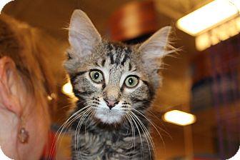 Domestic Mediumhair Kitten for adoption in Marietta, Georgia - Nod