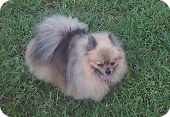 Pomeranian Dog for adoption in conroe, Texas - Sahara