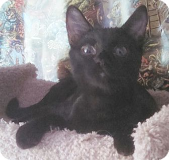 Domestic Shorthair Kitten for adoption in North Highlands, California - Spitfire2