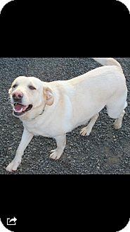 Labrador Retriever Mix Dog for adoption in Lacey, Washington - Marley