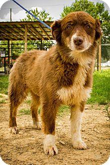 Australian Shepherd/Border Collie Mix Dog for adoption in Jasper, Alabama - F1