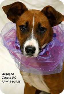 Jack Russell Terrier Mix Dog for adoption in Newnan City, Georgia - Nutmeg