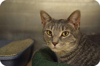 Domestic Shorthair Cat for adoption in Washington, Pennsylvania - Gracie