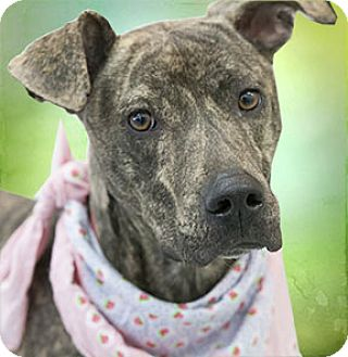 Whippet Mix Dog for adoption in Cincinnati, Ohio - Pesto