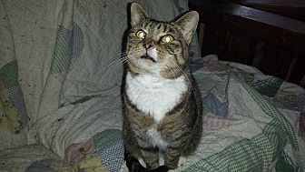 Domestic Shorthair Cat for adoption in Chesapeake, Virginia - Little Miss