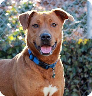 Retriever (Unknown Type) Mix Dog for adoption in Port Washington, New York - Bobbi