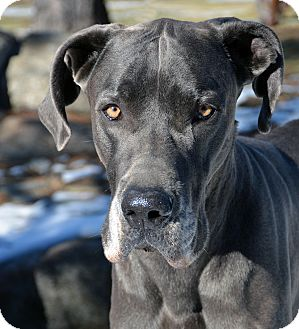 Great Dane Dog for adoption in Mountain Center, California - Zion