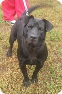 Labrador Retriever Mix Dog for adoption in Waldorf, Maryland - Derek