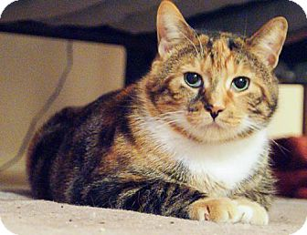 Domestic Shorthair Cat for adoption in Kingston, Ontario - Lady