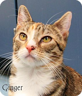Domestic Shorthair Cat for adoption in Jackson, New Jersey - Ginger