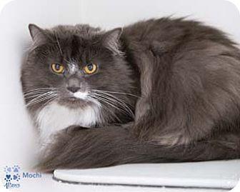 Domestic Longhair Cat for adoption in Merrifield, Virginia - Mochi