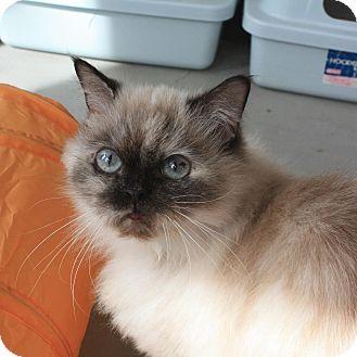 Himalayan Cat for adoption in Canyon Country, California - Sasha