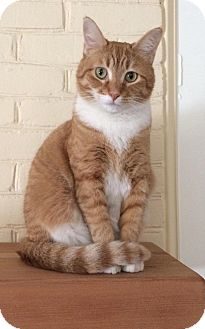 Domestic Shorthair Cat for adoption in Port Republic, Maryland - Panina