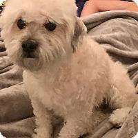 Adopt A Pet :: Bashful - Las Vegas, NV