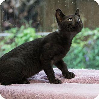 Domestic Shorthair Cat for adoption in Houston, Texas - Rye
