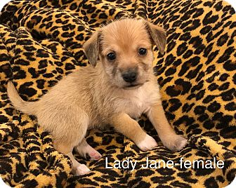 Terrier (Unknown Type, Small)/Dachshund Mix Puppy for adoption in Fort Atkinson, Wisconsin - Lady Jane-RT