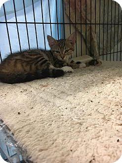 Domestic Mediumhair Kitten for adoption in Stanton, Michigan - Stinger-$20!