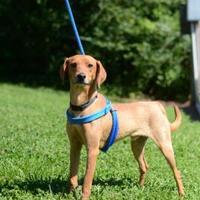 Adopt A Pet :: Duke - Dahlonega, GA