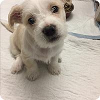 Adopt A Pet :: Sully - Brea, CA