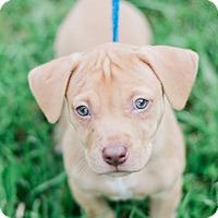 Adopt A Pet :: Lexi $250 - Seneca, SC