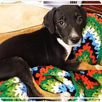 Adopt A Pet :: SCORPIO - Chandler, AZ