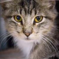 Domestic Mediumhair/Domestic Shorthair Mix Cat for adoption in Bulverde, Texas - Sir 09-22-13