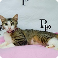 Domestic Shorthair Cat for adoption in Walton County, Georgia - Betty