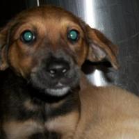 Adopt A Pet :: Trixie - Clinton, MO