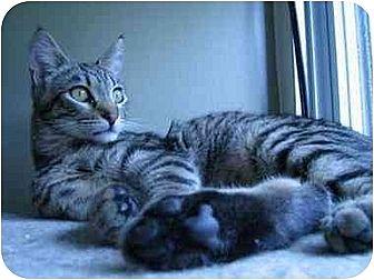 Domestic Shorthair Cat for adoption in Toluca Lake, California - Leo