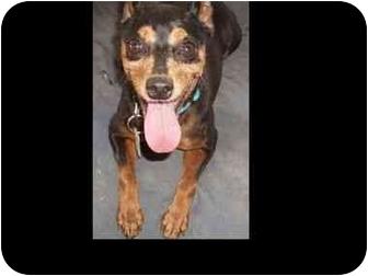 Miniature Pinscher Dog for adoption in Phoenix, Arizona - Battie