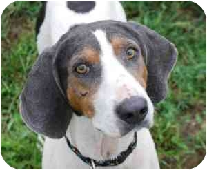 Coonhound (Unknown Type) Mix Dog for adoption in Vineland, New Jersey - Avalon