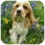 Photo 2 - Cocker Spaniel Dog for adoption in Sugarland, Texas - Foster