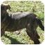 Photo 2 - Labrador Retriever/German Shepherd Dog Mix Puppy for adoption in Los Angeles, California - Vanessa
