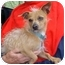 Photo 2 - Chinese Crested/Terrier (Unknown Type, Small) Mix Dog for adoption in Spring Valley, California - Cody