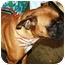 Photo 3 - Boxer Dog for adoption in Oswego, Illinois - Shelby