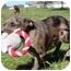 Photo 2 - Australian Shepherd Mix Puppy for adoption in Salem, New Hampshire - George