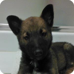 Belgian Shepherd Mix Puppy for adoption in Naperville, Illinois - Bruno